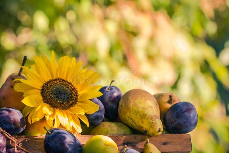Trädgårds- för fruktkorg för sen sommar säsongsbetonad sol för inställning för ljus royaltyfri foto