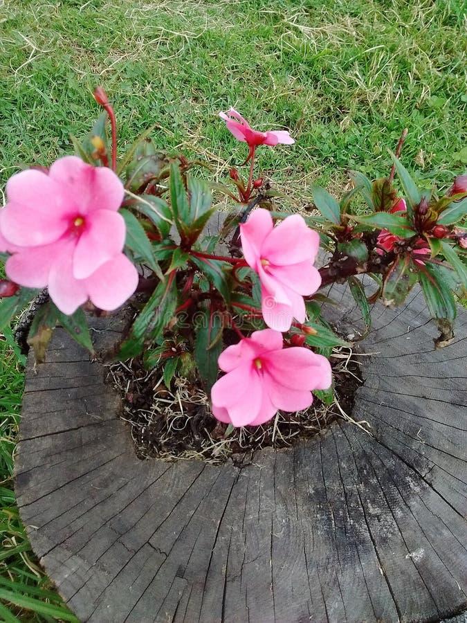 Trädgårds- gatabogota rosa färger royaltyfria foton