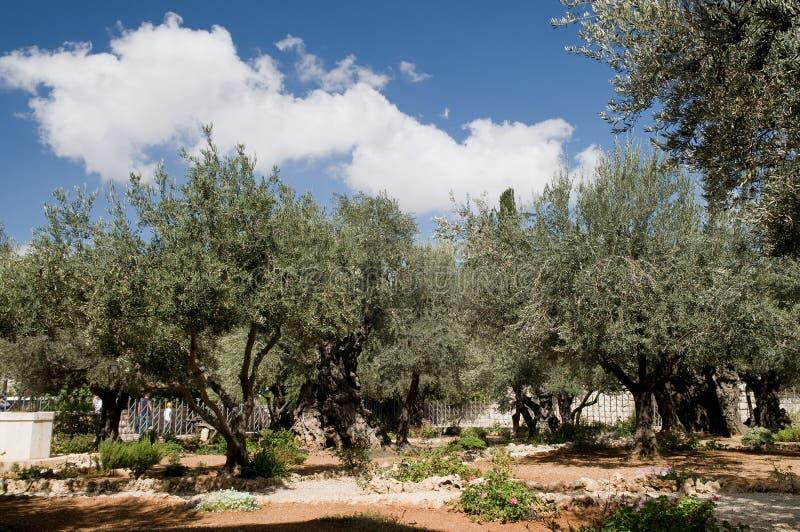 trädgårds- gethsemane jerusalem royaltyfri foto
