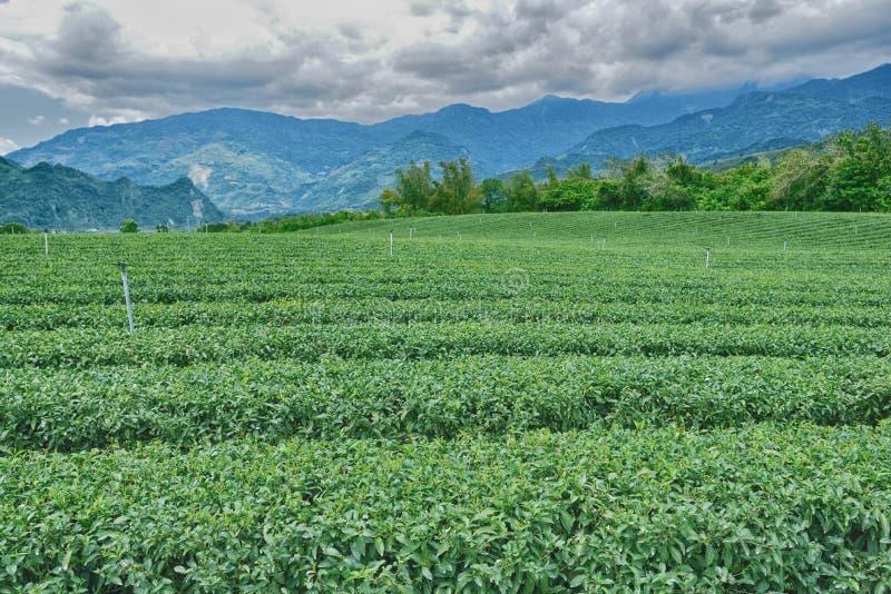 trädgårds- grön tea fotografering för bildbyråer