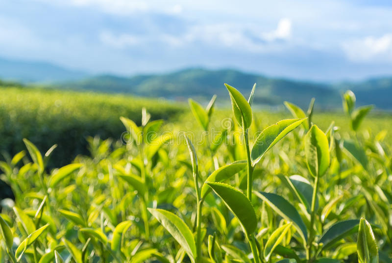 trädgårds- grön tea arkivfoto