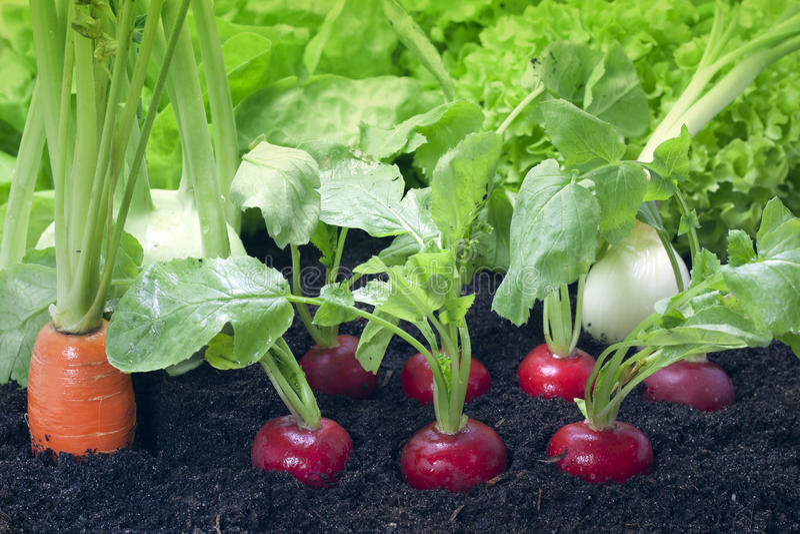 trädgårds- grönsaker royaltyfri fotografi