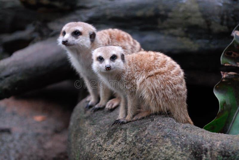 trädgårds- meerkats zoologiska singapore royaltyfria bilder