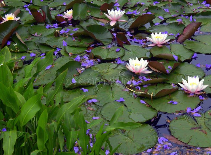 Trädgårds- näckros royaltyfria foton