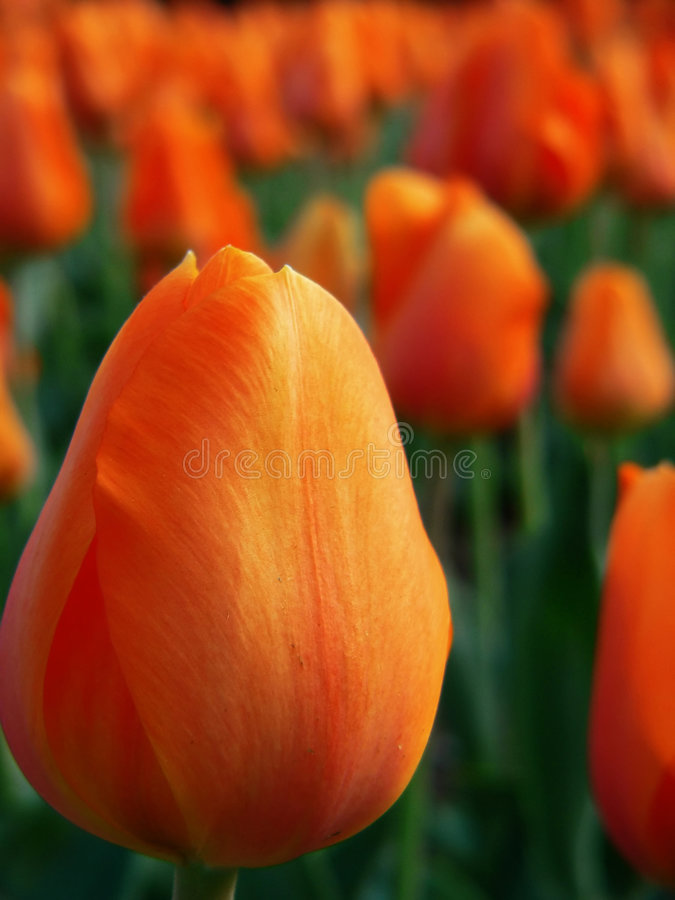 trädgårds- orange tulpan arkivbilder