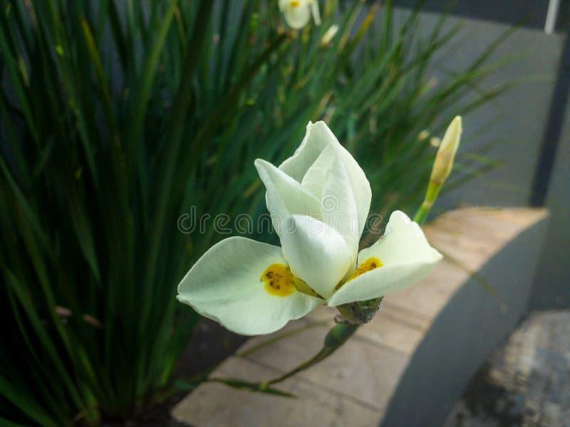 Trädgårds- orkidé för vit royaltyfri bild
