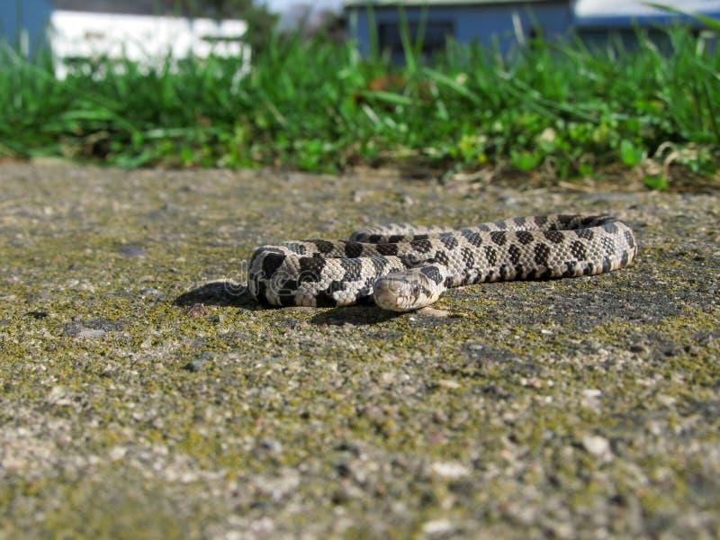 Trädgårds- orm på betong arkivbild