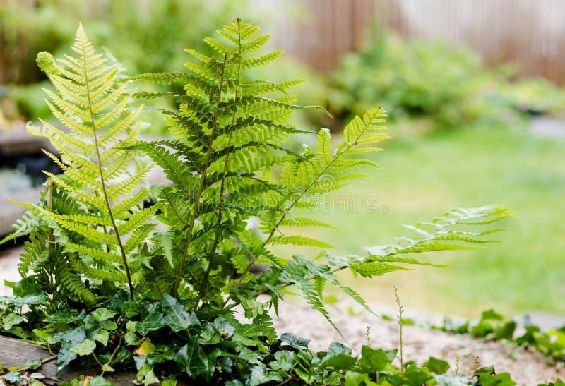 Trädgårds- ormbunkar fotografering för bildbyråer