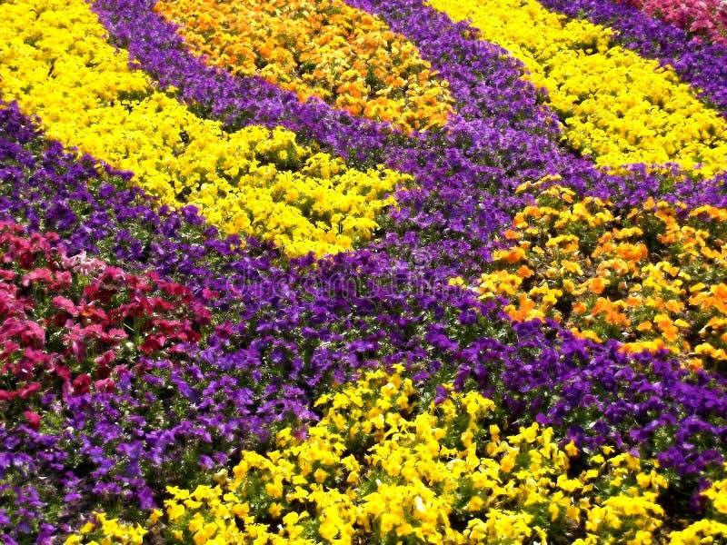 trädgårds- pansy för fält arkivfoton