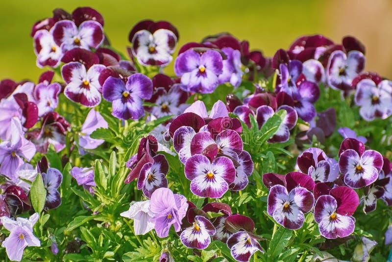 Trädgårds- Pansy Flowers fotografering för bildbyråer
