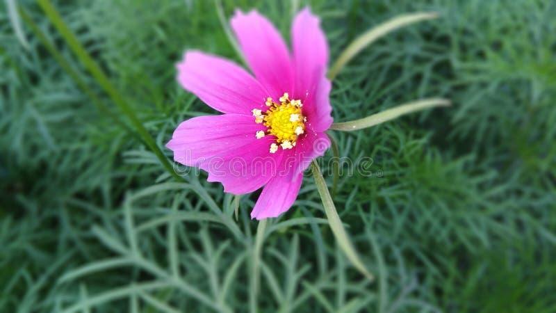 trädgårds- pink för blomma royaltyfria foton