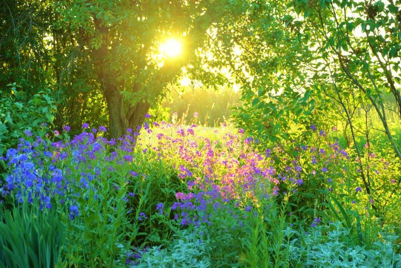 Trädgårds- plats med lila- och blåttblommor och solinställningen fotografering för bildbyråer