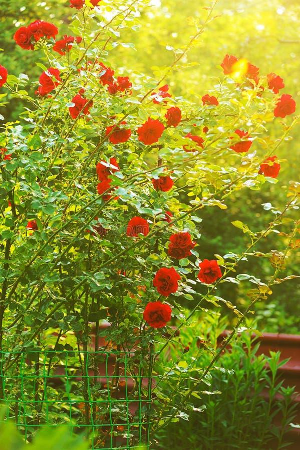 trädgårds- röda ro royaltyfria foton