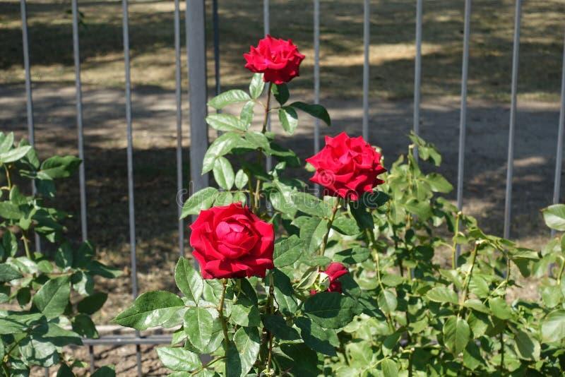 trädgårds- röda ro tre fotografering för bildbyråer