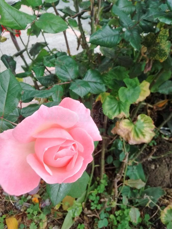 Trädgårds- ros för gatabogota rosa färger arkivfoton