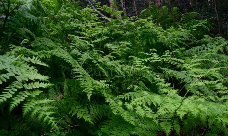 Trädgårds- rutt Forest With Ferns - Sydafrika arkivbild
