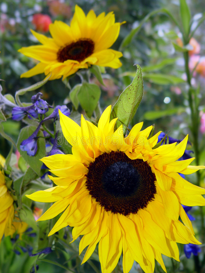 trädgårds- solrosor fotografering för bildbyråer