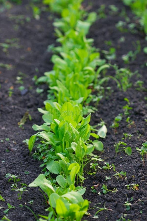 trädgårds- sorrel arkivfoto