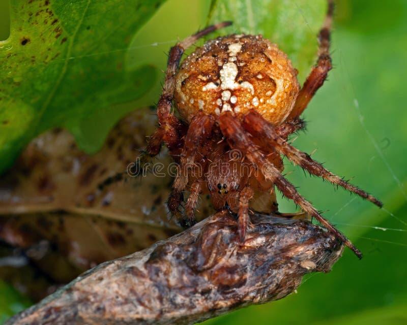 Trädgårds- spindel, Araneusdiadematus som äter ett rov royaltyfria foton