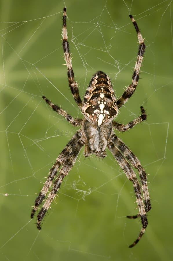 trädgårds- spindel för european arkivfoto