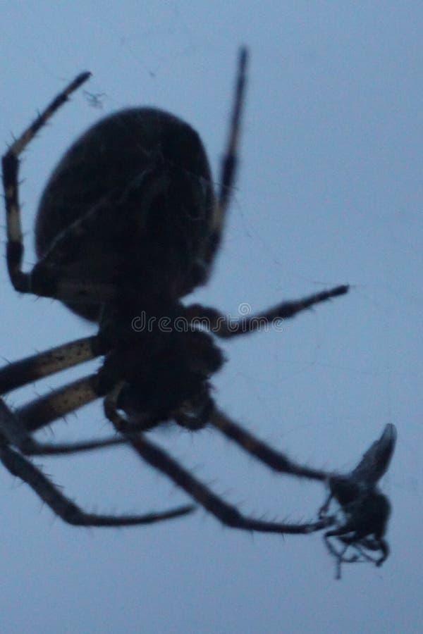 Trädgårds- spindel som slukar flugan fotografering för bildbyråer