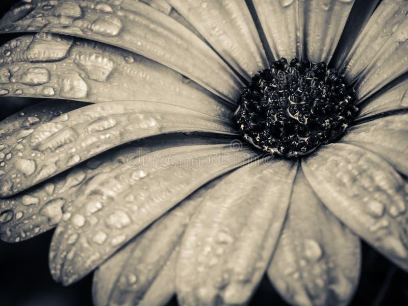 Trädgårds- svartvit blommamakro fotografering för bildbyråer