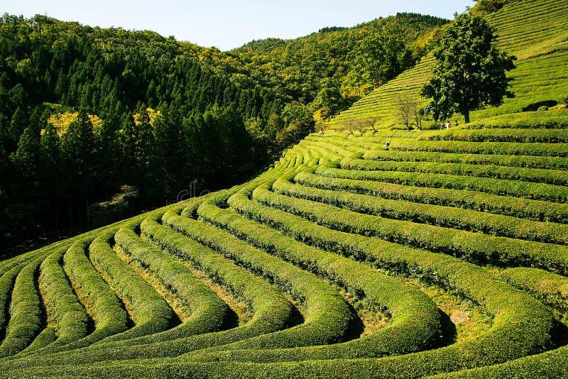 trädgårds- tea royaltyfri bild