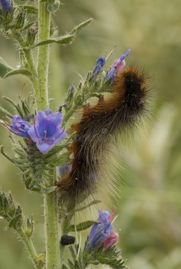 Trädgårds- Tiger Caterpillar, Grote öl Rups, Arctia caja arkivfoto