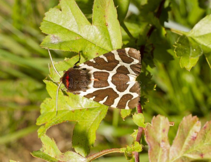 Trädgårds- tigermal på leafen royaltyfri fotografi