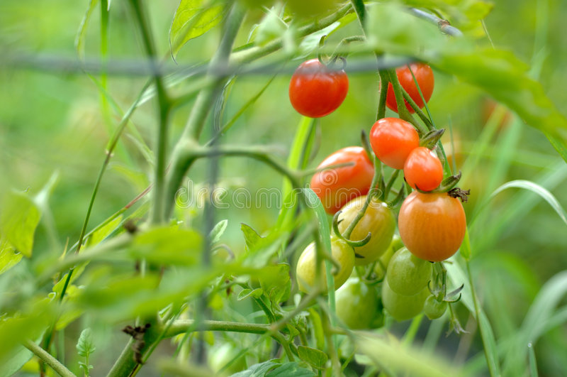 trädgårds- tomater royaltyfria foton