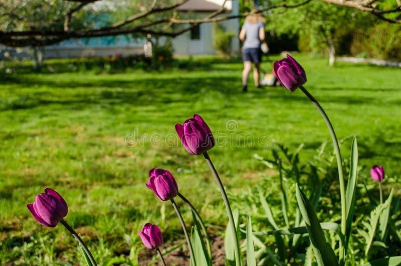 Trädgårds- tulpan- och kvinnakontur med gräsgräsklippningsmaskinen royaltyfri bild