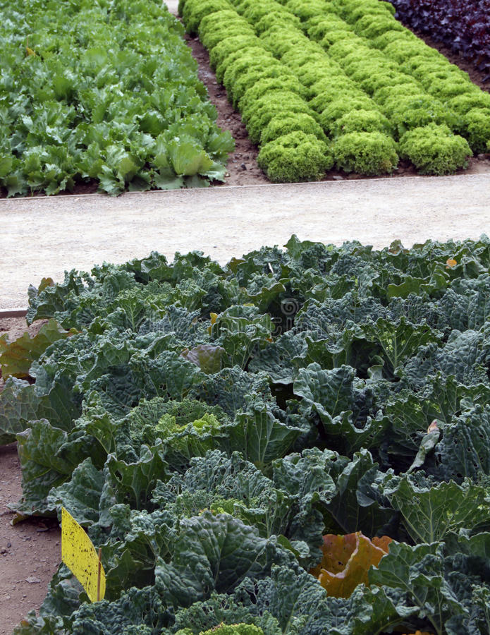 Trädgårds- underlag för grönsak med sallad och cale arkivbild