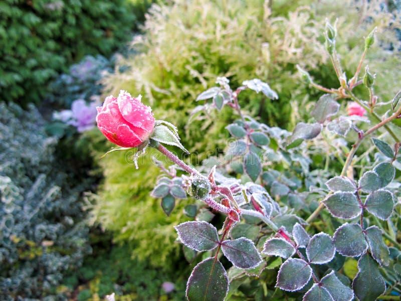 trädgårds- vinter Den första frosten och de djupfrysta rosa färgerna steg royaltyfria foton
