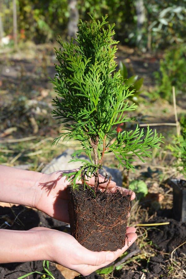 Trädgårdsmästare Hands Planting, transplantatcypressträd, Thuja med Roo arkivfoto