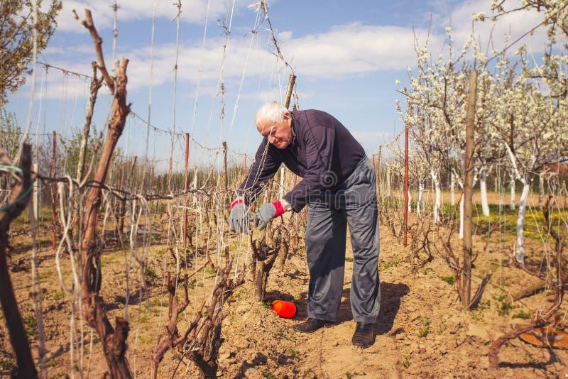 Trädgårdsmästare med en skarp pruner som gör beskära för druva arkivbild