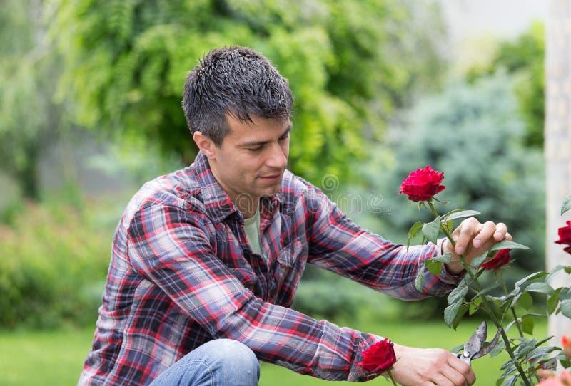 Trädgårdsmästare med sax och den röda rosen fotografering för bildbyråer