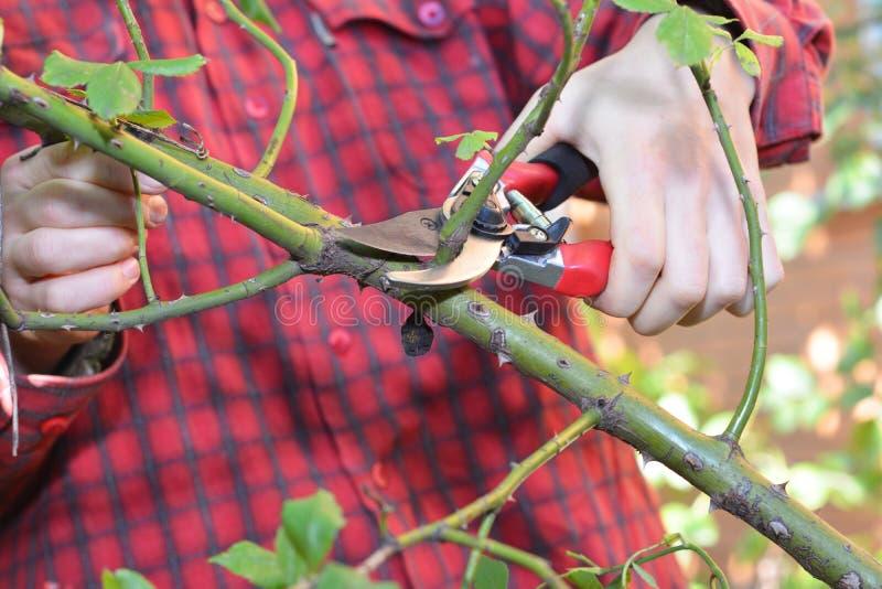 Trädgårdsmästare med trädgården som beskär sax som beskär klättringrosor i vår royaltyfri foto