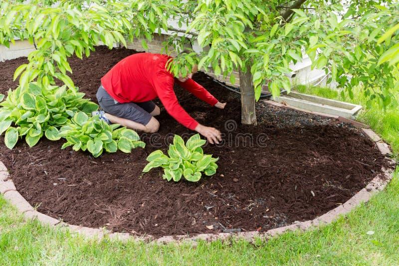 Trädgårdsmästare som arbetar i trädgården som gör mulchingen royaltyfria bilder