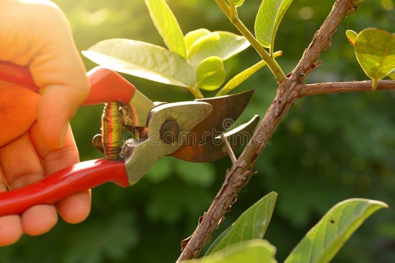 trädgårdsmästare som beskär träd med att beskära sax royaltyfria bilder