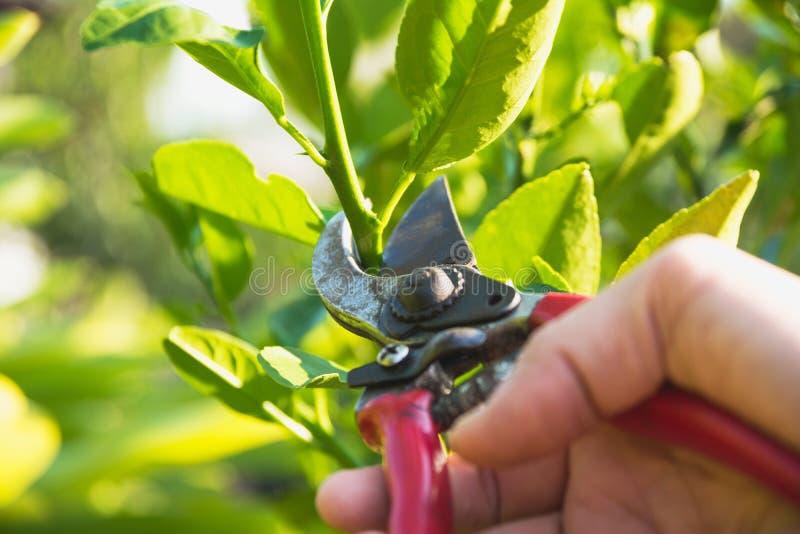 Trädgårdsmästare som beskär träd med att beskära sax på naturbakgrund royaltyfria bilder