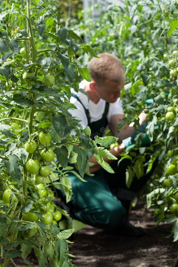 Trädgårdsmästare som fungerar i växthus royaltyfria foton