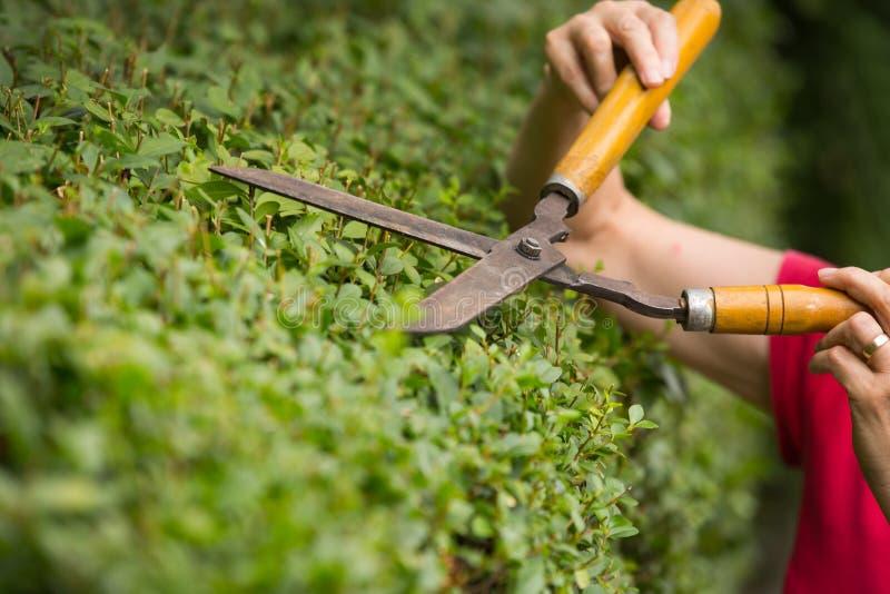 Trädgårdsmästare som klipper en häck med en trädgårds- pruner arkivfoto