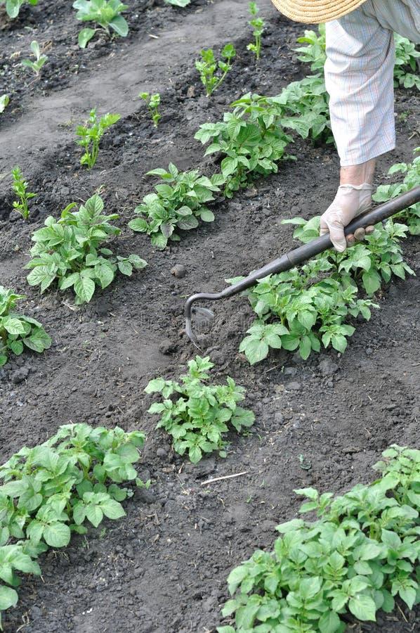 Trädgårdsmästare som krattar jordning med en hacka royaltyfri bild