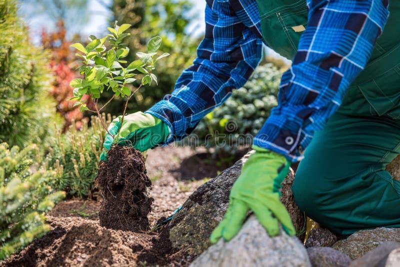 Trädgårdsmästare som planterar det nya trädet i en trädgård royaltyfri bild