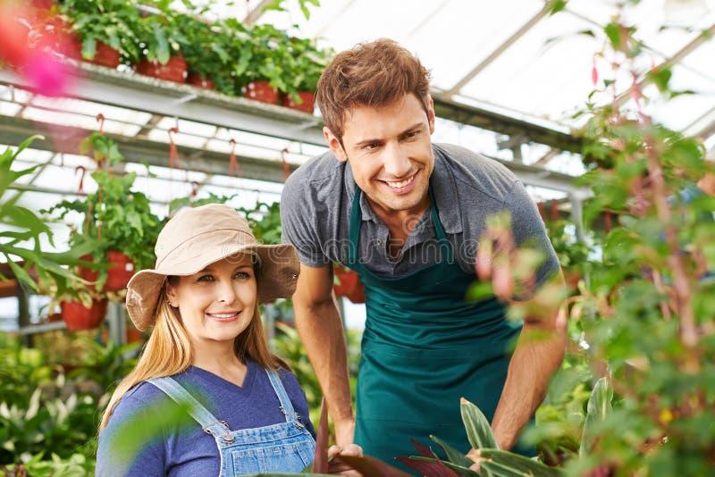 Trädgårdsmästare som två arbetar i växthus arkivbilder