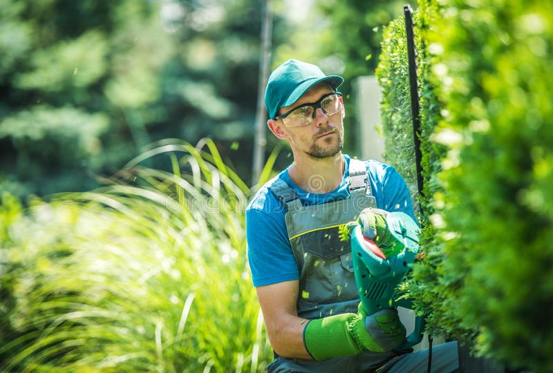 Trädgårdsmästare Trimming Thujas arkivbild