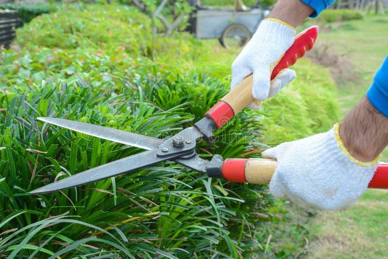 Trädgårdsmästareklipphäck med grässax arkivfoton