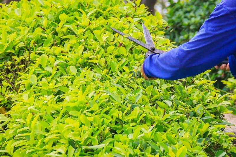 Trädgårdsmästaren är den bitande busken med sax i trädgården Woen royaltyfri bild
