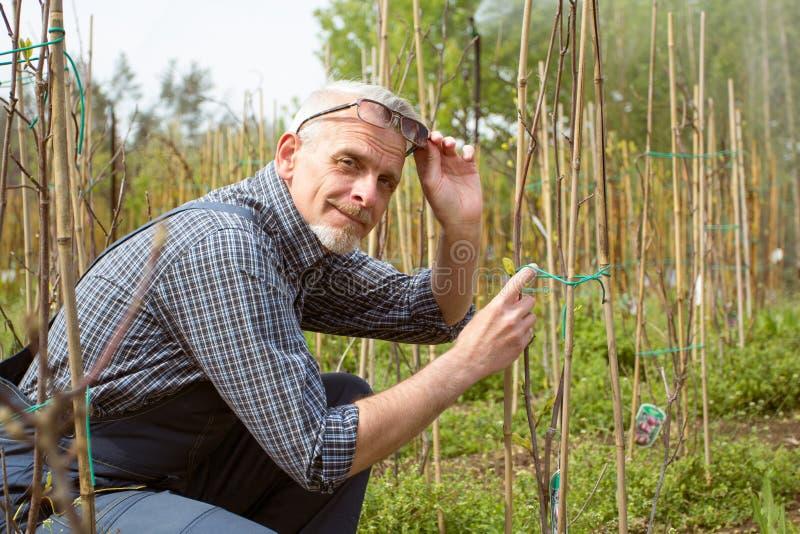 Trädgårdsmästaren behandlar unga växter Leenden tog av hans exponeringsglas royaltyfria bilder