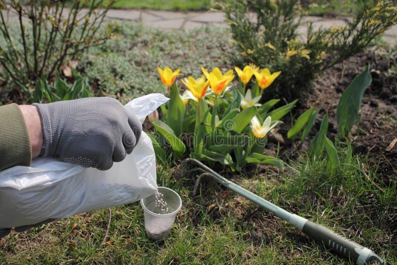 Trädgårdsmästaren beströr mineralisk grovkornig gödningsmedel från packen för att gödsla blomningtulpan royaltyfria bilder